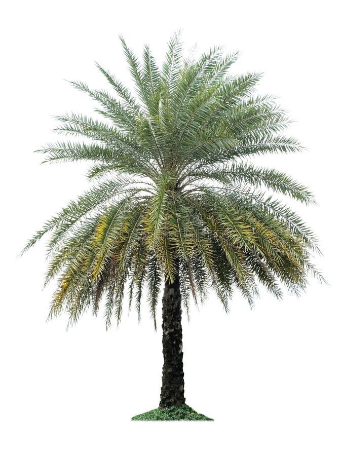 Palme lokalisiert auf weißem Hintergrund lizenzfreie stockfotografie