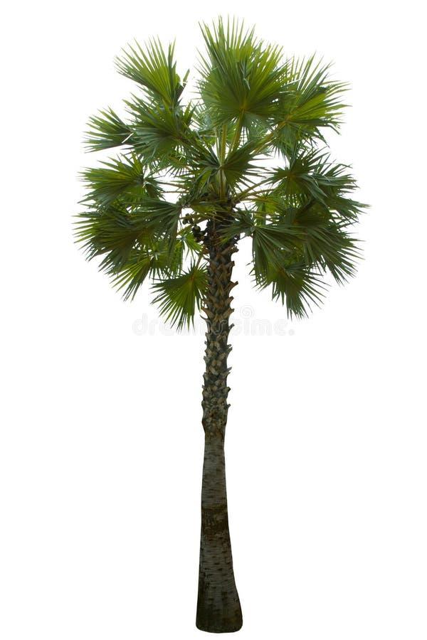 Palme lokalisiert auf weißem Hintergrund lizenzfreies stockbild