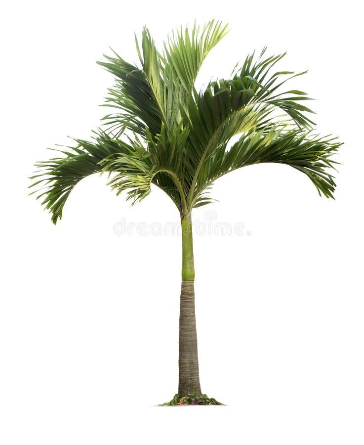 Palme lokalisiert auf weißem Hintergrund mit Beschneidungspfaden stockbilder