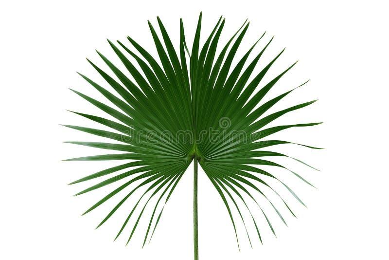 Palme mit dem Kreisblattnatur-Grünmuster der blätter oder des Fanpalmwedels tropischen lokalisiert auf weißem Hintergrund, Beschn stockbild
