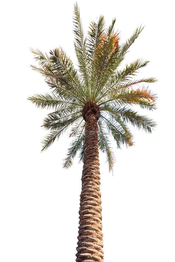Palme mit einem langen Fass Unterseite herauf Ansicht stockfotografie