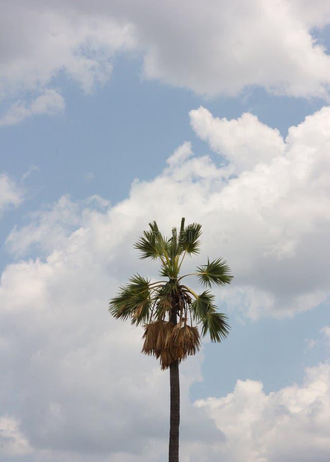 Palme nel cielo blu immagine stock libera da diritti