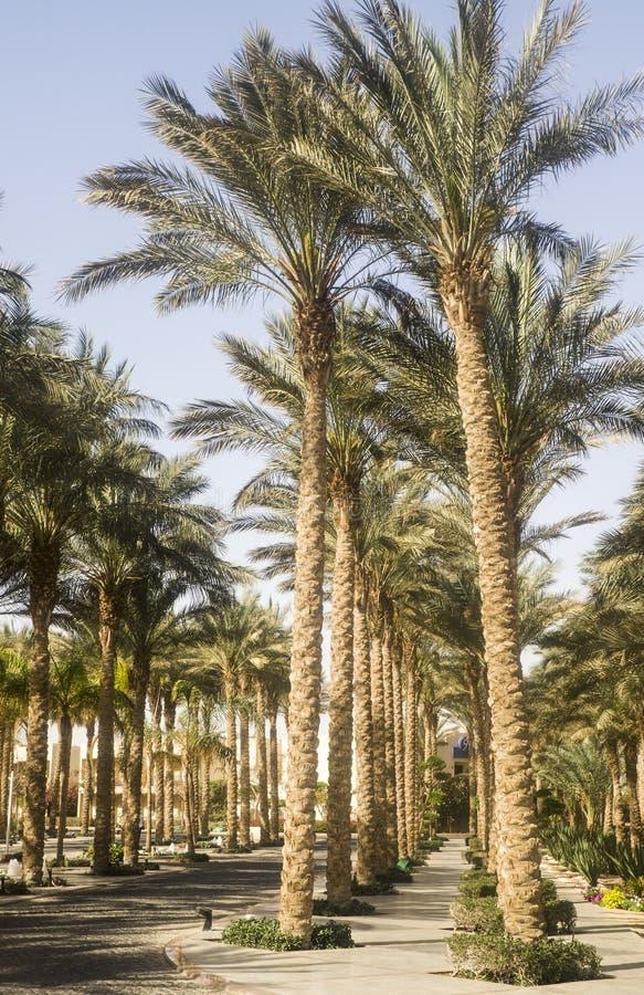 Palme in pieno di verde nell'Egitto fotografie stock