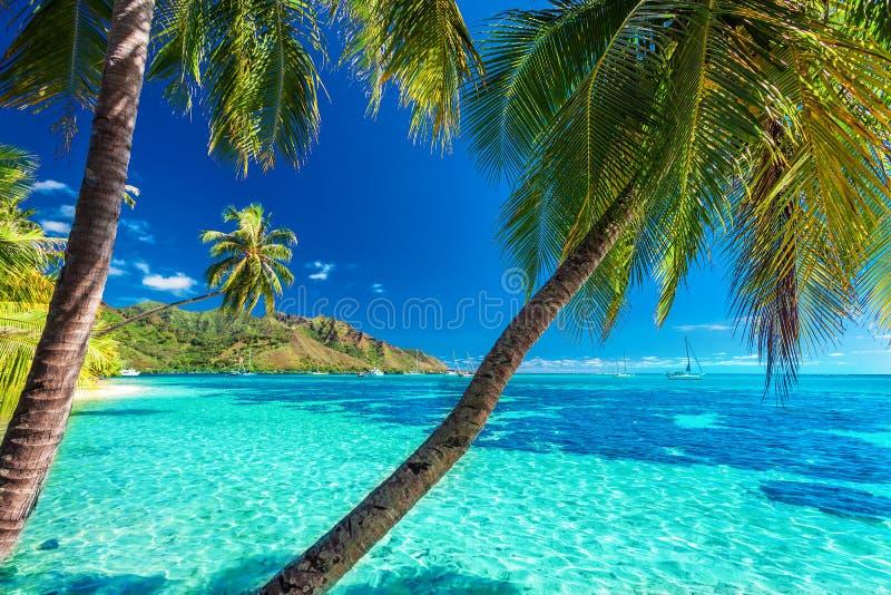Palme su una spiaggia tropicale con un mare blu su Moorea, Tahiti immagine stock libera da diritti