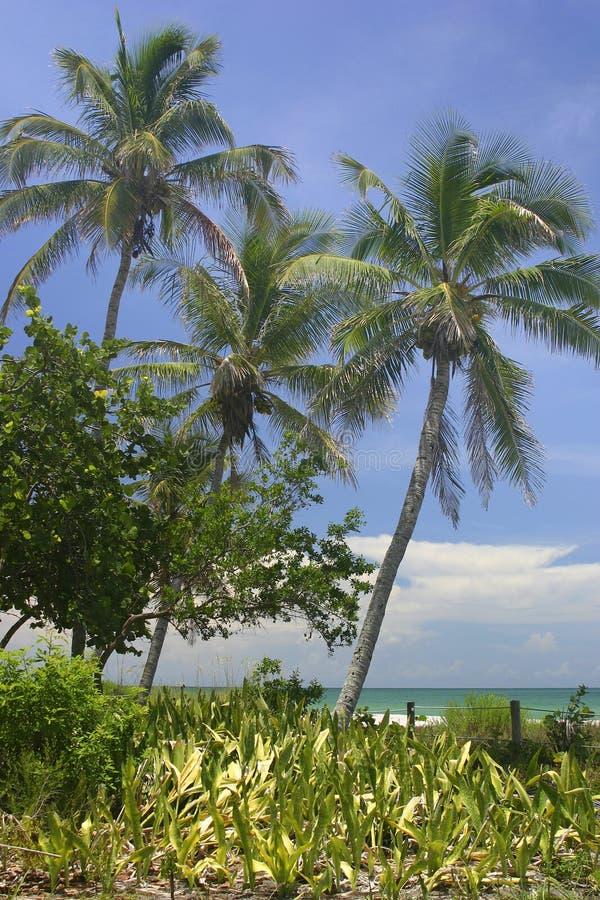 Palme tropicali fotografia stock