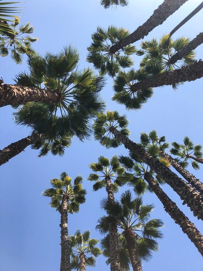 Palme tropicali maestose e giganti immagini stock libere da diritti