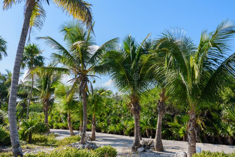 Palme in un giardino tropicale della località di soggiorno Priorità bassa del cielo blu Roatan, Honduras immagine stock