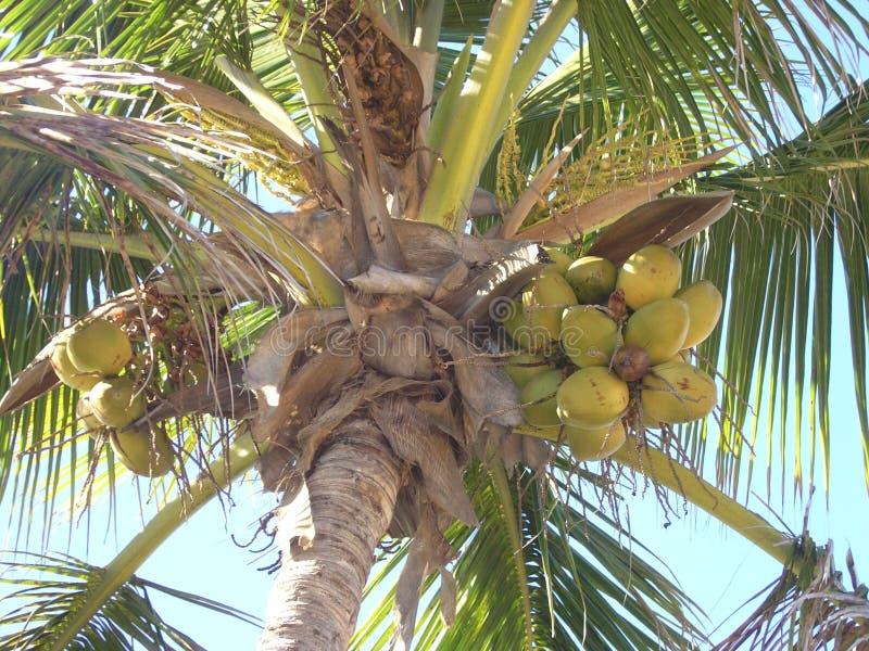 Download Palme und Kokosnüsse stockfoto. Bild von vegetation, frucht - 25998