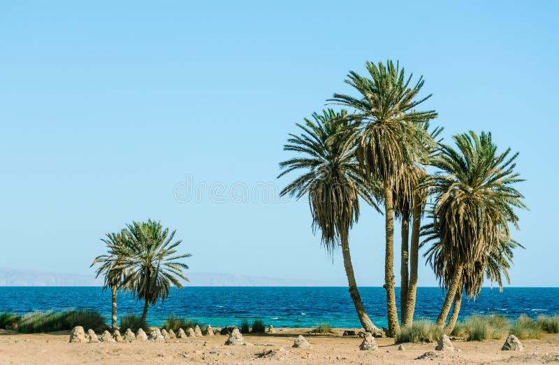 Palme verdi alte sulle rive del Mar Rosso nell'Egitto Dahab immagini stock