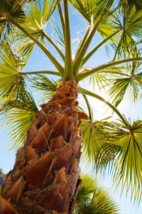 Palmeansicht von der Unterseite, die Strahlen der Sonne glänzen durch Niederlassungen stockbilder