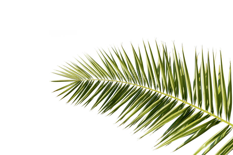 Palmeblatt lokalisiert auf Weiß stockfotografie