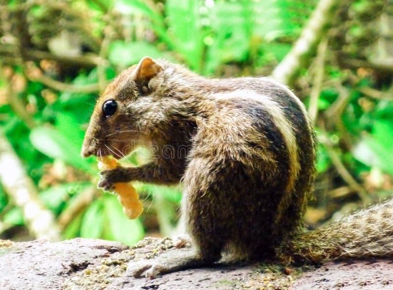 Palmeekhoorn die een noot ter plaatse in het Eiland Sri Lanka eten stock fotografie