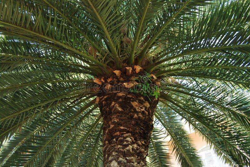 Palmeira fotografia de stock royalty free