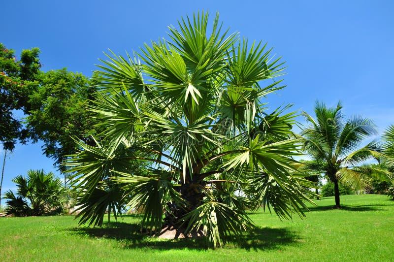 Palmeira. fotos de stock royalty free
