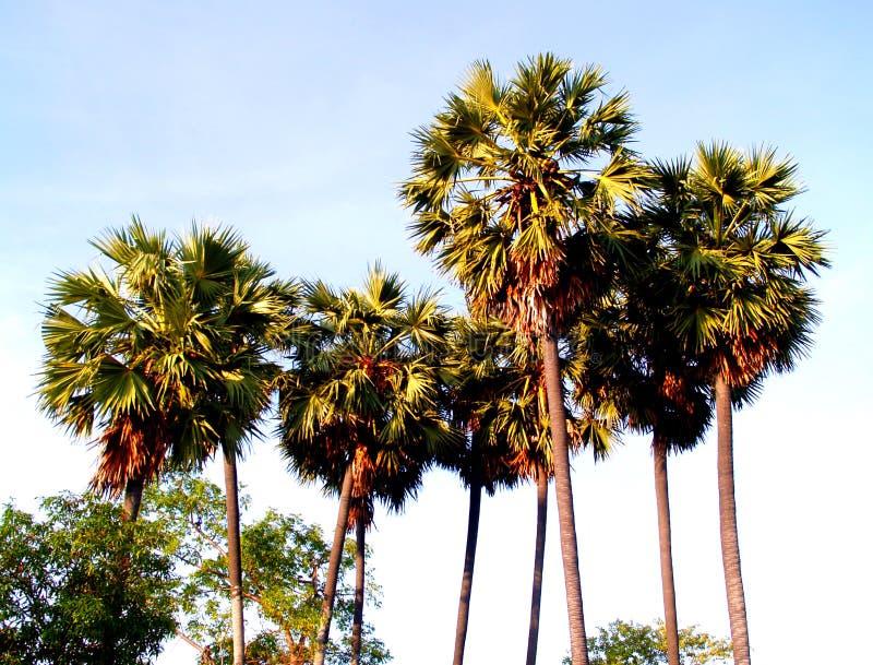Palmeira 41 imagem de stock royalty free