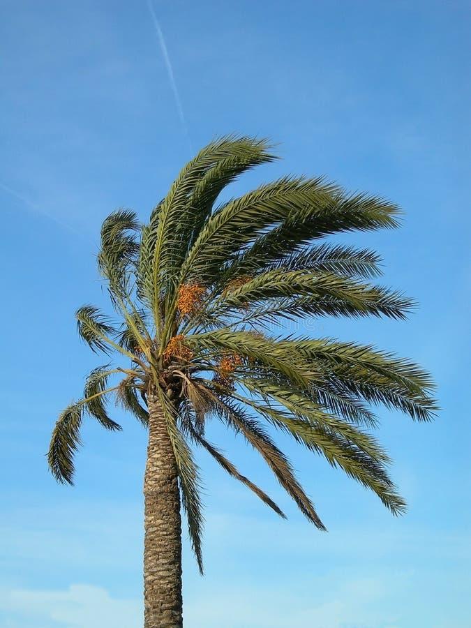 Palmeira fotografia de stock