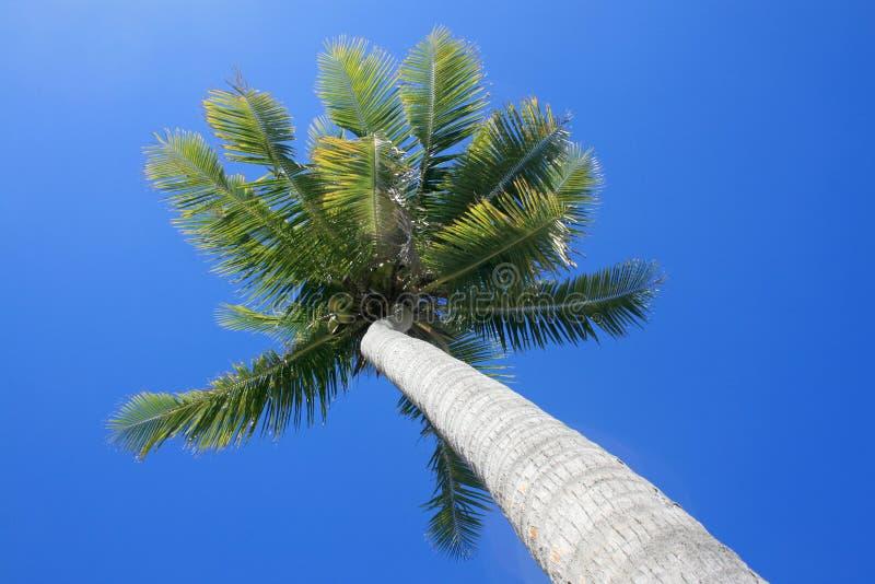 Palmeira imagem de stock