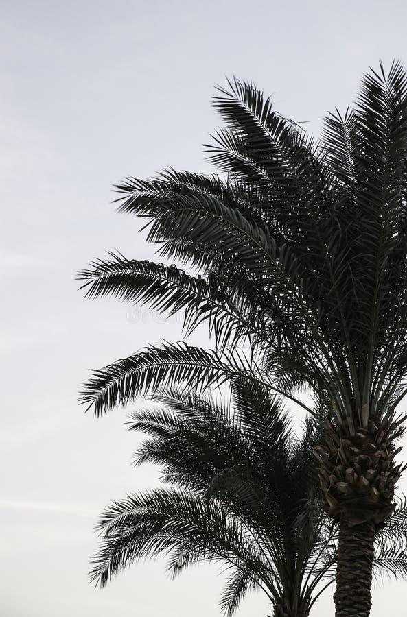 A palmeira fotos de stock royalty free