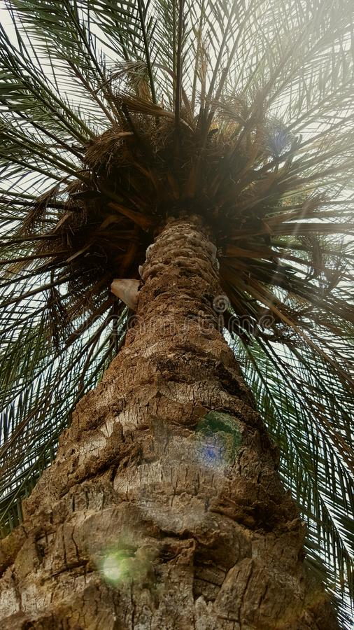 Palmeira alta foto de stock