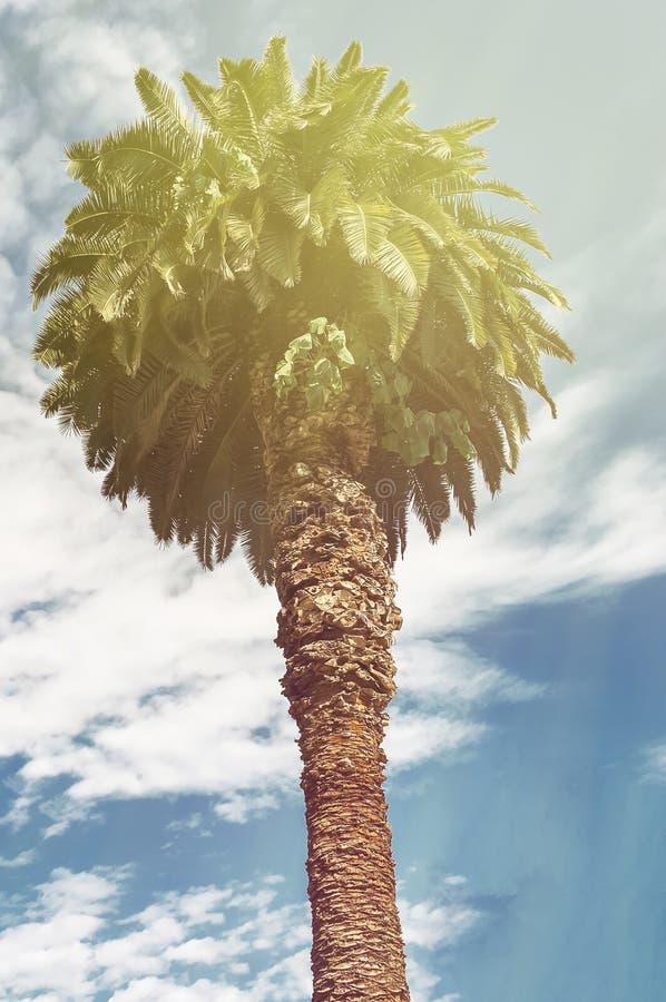 Palmeira alta do fundo tropical do verão contra um céu azul com as nuvens na luz solar foto de stock