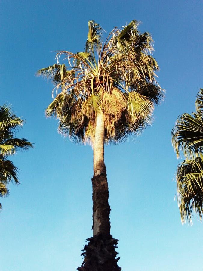 Palmeira bonaire fotografia de stock royalty free