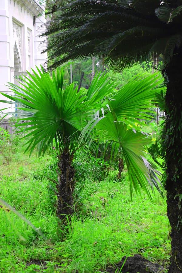 Palmeira bonita verde Palmeira longa da data do tronco T?maras em uma palmeira Ramos da palma de datas com datas maduras Grupo de imagem de stock