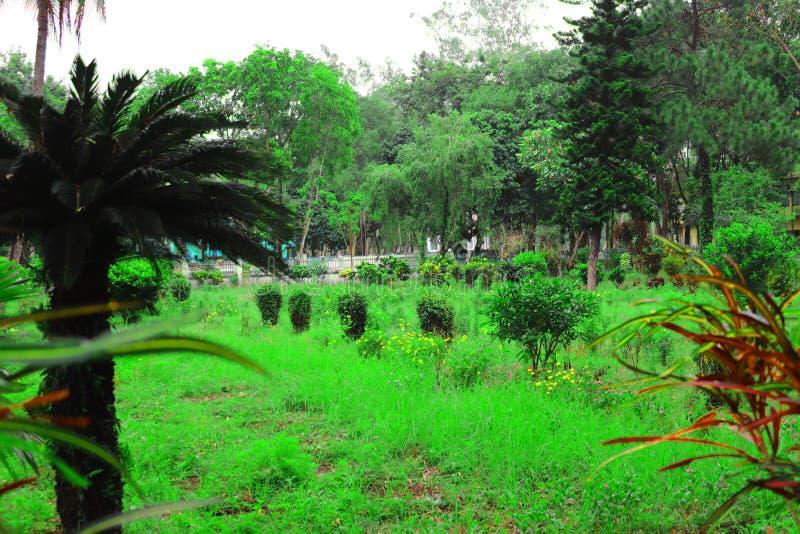 Palmeira bonita verde Palmeira longa da data do tronco T?maras em uma palmeira Ramos da palma de datas com datas maduras Grupo de fotografia de stock royalty free