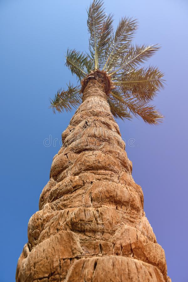 Palmeira com o tronco agradável grande da textura em uma praia com luz do sol imagem de stock