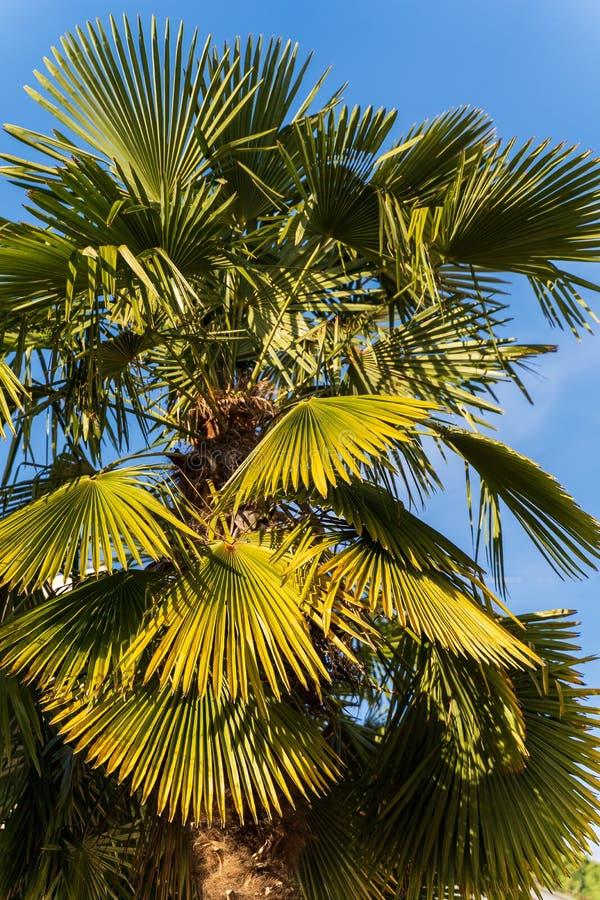 Palmeira contra o dia ensolarado do fundo um do céu azul fotografia de stock