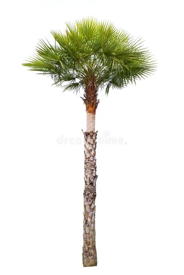 Palmeira da cera de carnaúba imagens de stock