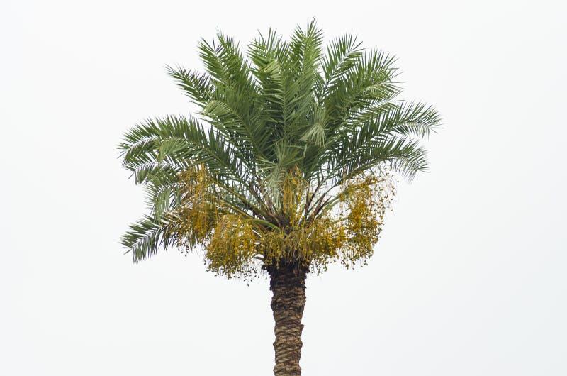 Palmeira da data com datas amarelas fotografia de stock