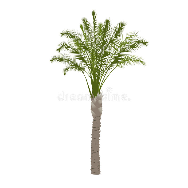 Palmeira da data na cor fotografia de stock