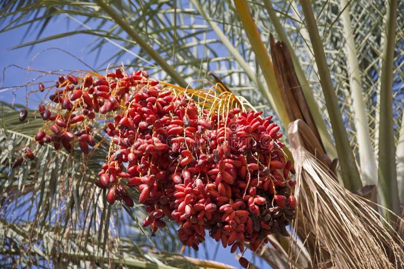 Palmeira da tâmara com tâmaras imagens de stock