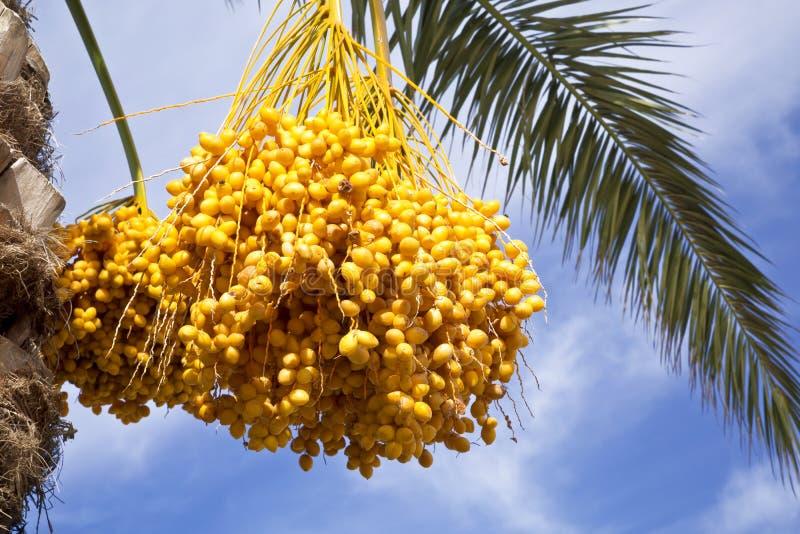 Palmeira da tâmara com tâmaras imagem de stock royalty free