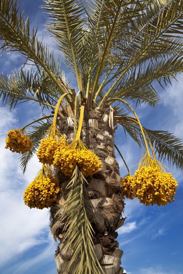 Palmeira da tâmara com tâmaras fotos de stock royalty free