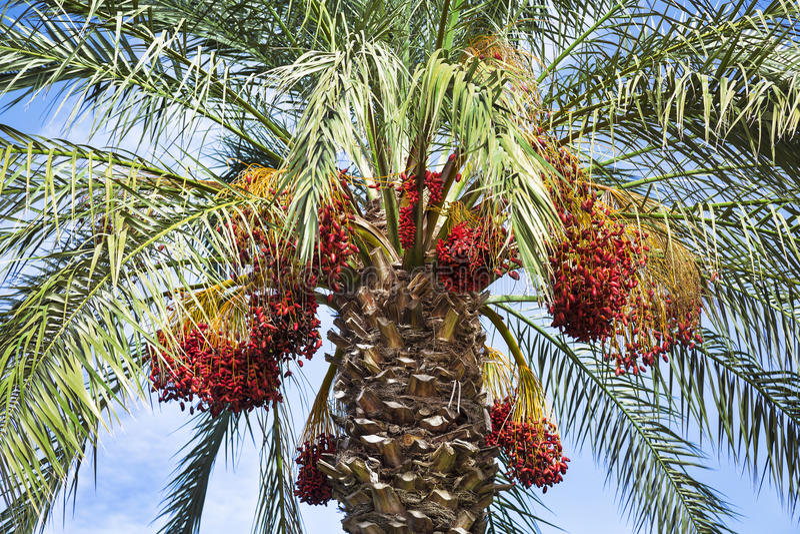 Palmeira da tâmara com tâmaras foto de stock royalty free