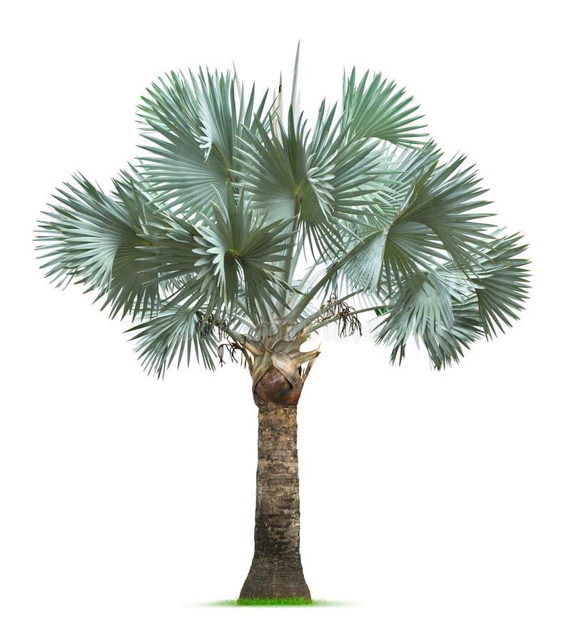 Palmeira de Bismarck imagens de stock