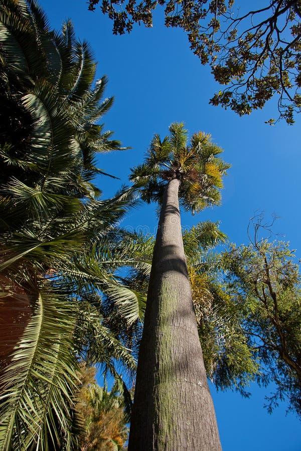 Palmeira de encontro a um céu azul imagem de stock