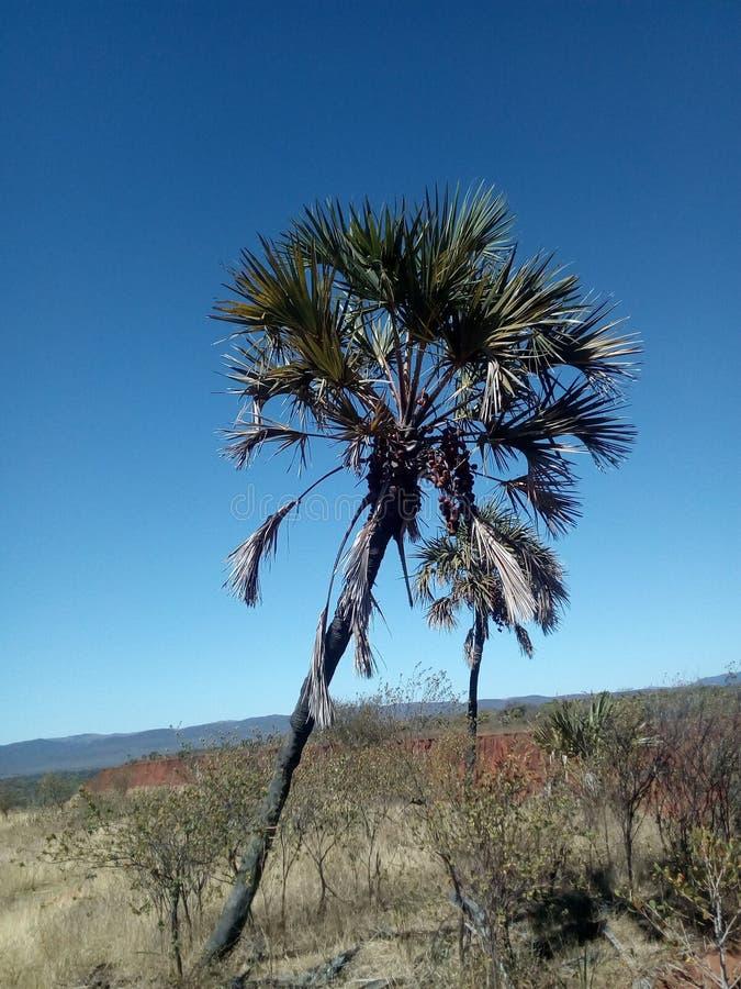 Palmeira de Satrana foto de stock royalty free