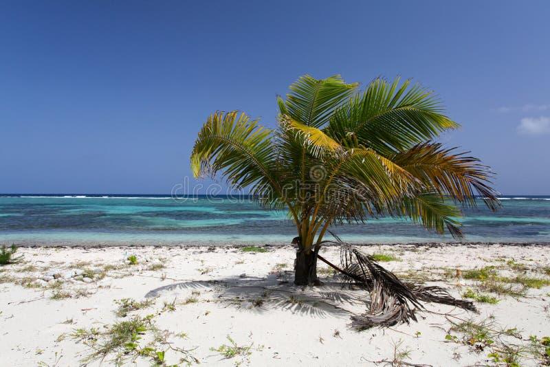 Palmeira do Cararibe com cocos foto de stock