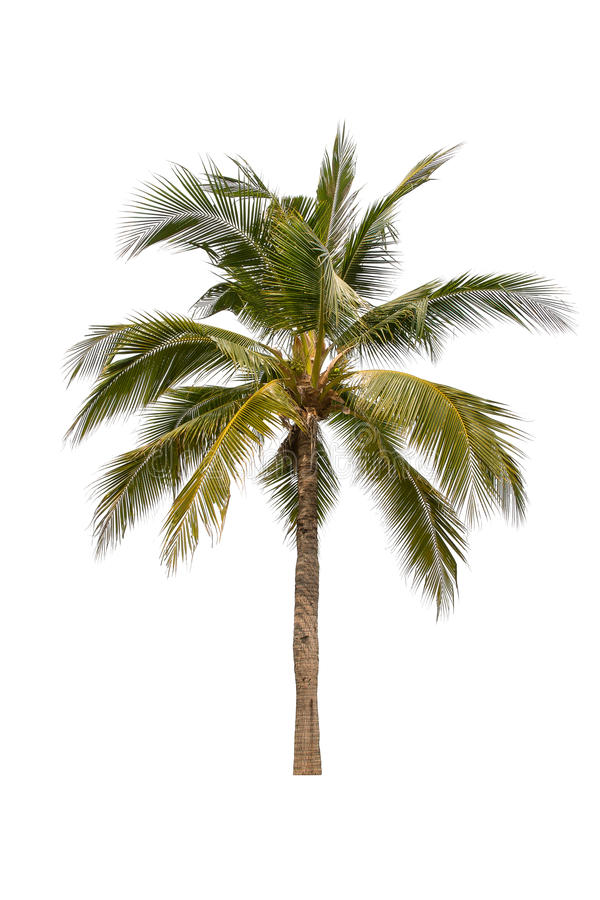 Palmeira do coco imagem de stock