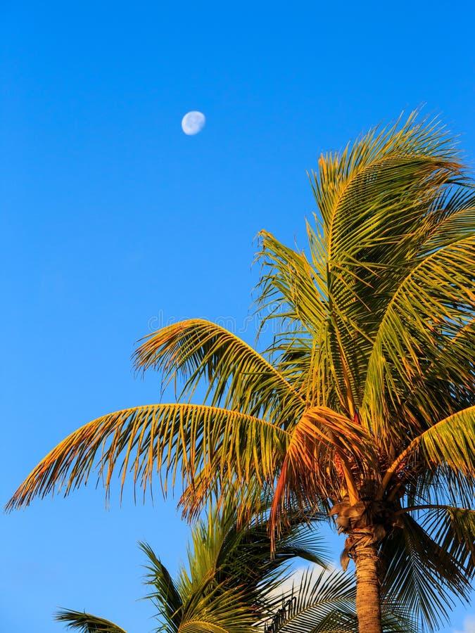 Palmeira e lua fotografia de stock