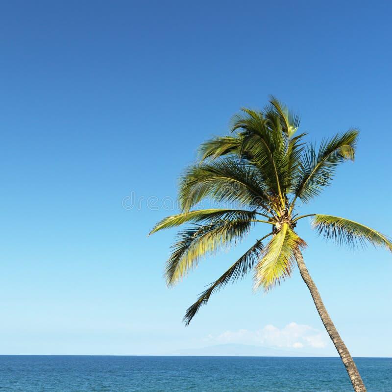 Palmeira e oceano. foto de stock