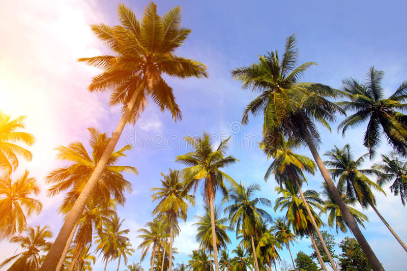 Palmeira e por do sol fotos de stock