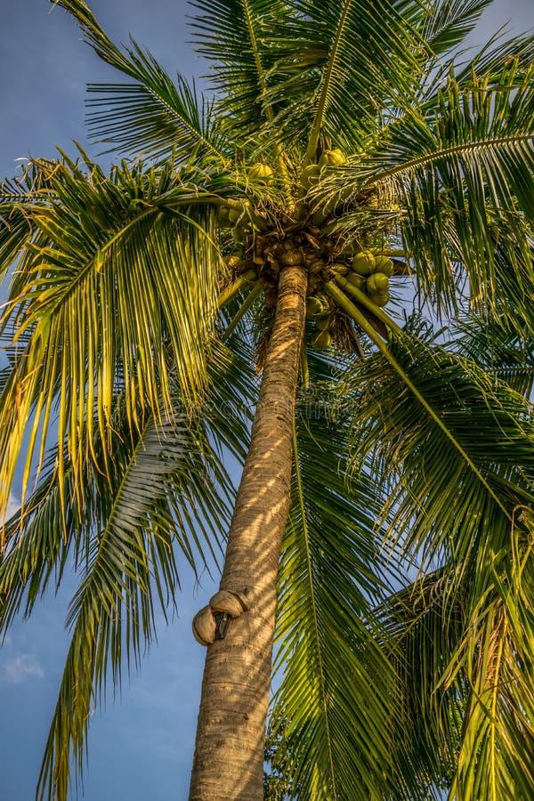 Palmeira em Tailândia Koh Phangan fotografia de stock