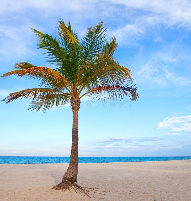 Palmeira em uma tarde ensolarada bonita do verão em Miami Beach fotografia de stock