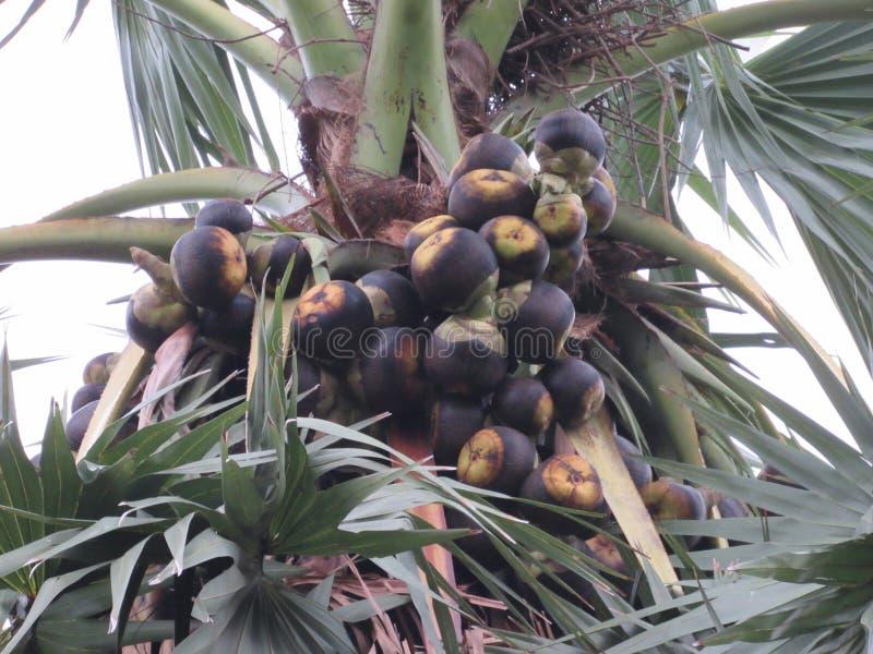 Palmeira fresca natural completamente das palmas fotografia de stock