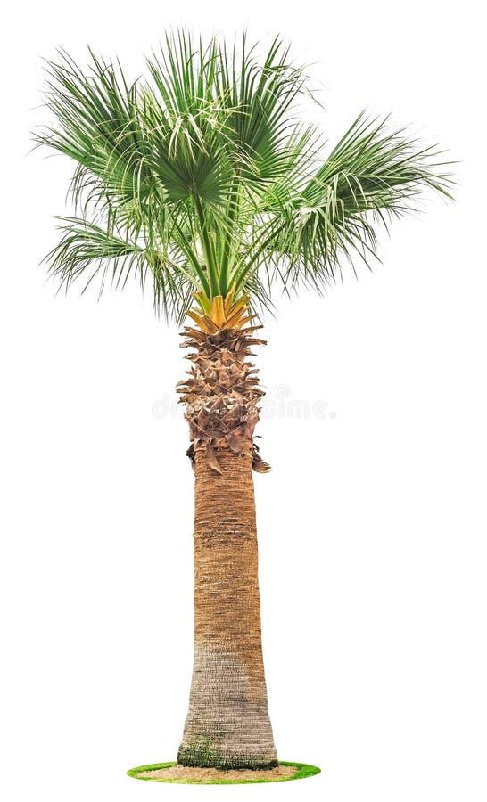 Palmeira grande isolada no branco fotografia de stock royalty free