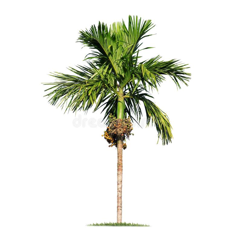 Palmeira grande isolada no fundo branco fotos de stock royalty free