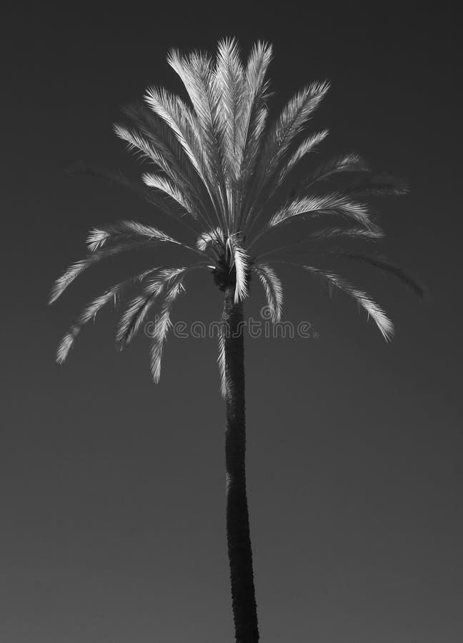 Palmeira IR foto de stock royalty free